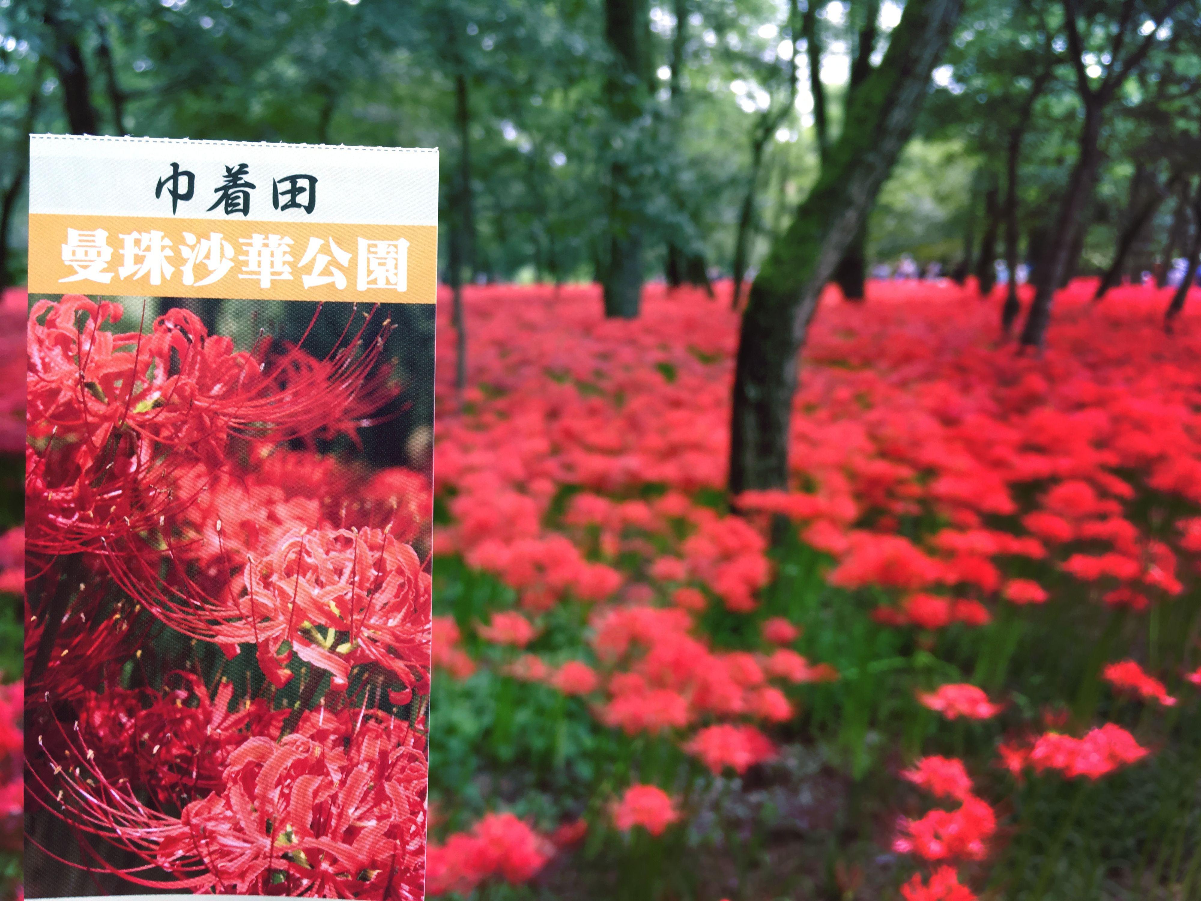 9月中旬から見頃!500万本の真っ赤な絨毯な「曼殊沙華」を「巾着田」に見に行こう!